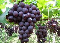 优质巨峰葡萄 冷藏葡萄