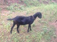 南方黑山羊羊苗川中黑山羊求购黑山羊