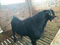 金堂黑山羊种羊.羊苗