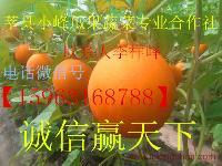 瑞红洋香瓜甜瓜大量上市