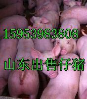 山东仔猪产地价格