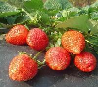 东北草莓苗格黑龙江省草莓苗价格