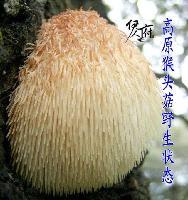 云南野生菌特級猴頭菇干貨純天然無硫特級 麗江特產非東北