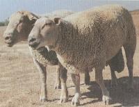 夏洛莱羊种羊养殖基地
