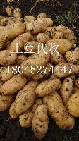 批发黑龙江新土豆