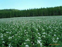 白花-2191脱毒土豆种子