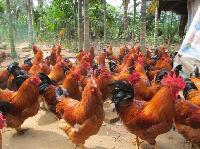 海南什玲雞批發供應 正宗海南閹雞 海南永基榮譽出品