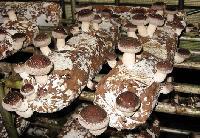优质香菇菌棒