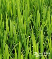 大麦苗提取物 大麦苗浓缩汁