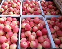 山东优质红富士苹果大量上市