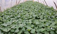 冠縣紅薯種苗銷售行情