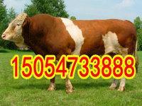 西门塔尔肉牛价格-