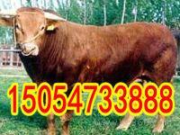 鲁西黄牛的价格