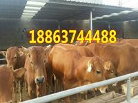 2016鲁西黄牛牛苗价格