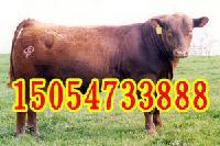 牛价格小牛犊行情