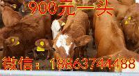 鲁西黄牛 价格