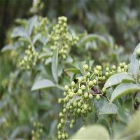 批量供应花椒苗 规格齐全 大红袍花椒苗 成活率高