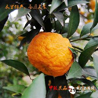 精品木里皱皮柑5斤每箱包邮(地理标志商标)