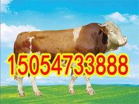 西门塔尔牛肉牛养殖场