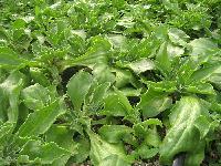 冰菜种子 非洲冰草 四季盆栽种植 特种蔬菜种子