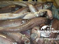 挪威冷冻银针鱼