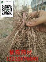 亳州紫菀种苗价格行情