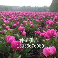 芍药苗供应商 芍药种子价格 芍药种植效益