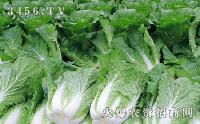 山東白菜價格
