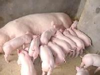 山东仔猪价格小猪销售市场