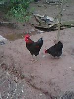 黑优3土鸡苗