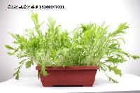 盆栽蔬菜代理加盟青島盆栽蔬菜基地批發代辦