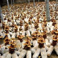 批发小型活体灵芝盆栽 赤灵芝菌种 可观赏可食用