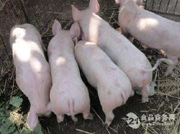 山東小豬苗價格小豬苗批發價格報道