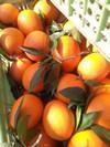 宜昌夏橙产地价格