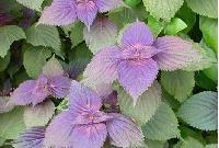 紫苏叶提取物
