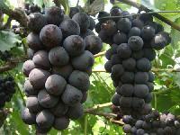 特别适合南方种植的早熟大棚葡萄苗新品种