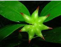 八角茴香提取物 莽草酸98%含量