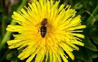 蜜蜂花提取物
