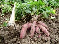 红薯叶提取物