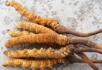 蛹虫草酵素