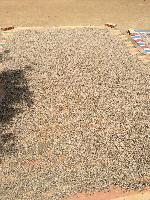 海南特产有机白胡椒颗粒 无漂白无化肥无农药 10斤包装