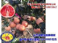 三红蜜柚苗价格/售价_2019年三红蜜柚苗预售价