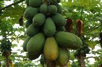 海南本地特产木瓜 新鲜水果 农家直产 5斤袋装