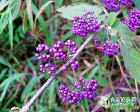 大叶紫珠提取物