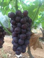 绿色无公害大型葡萄基地供应新鲜葡萄  免费试吃
