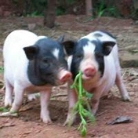 雍农农业猪鸡鸭