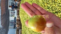 山东鲜梨枣