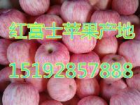 现在红富士苹果价格行情