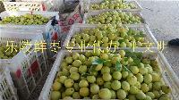 山東冬棗供應商*