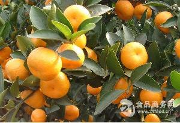 湖北柑橘/宜昌柑橘/柑橘批發